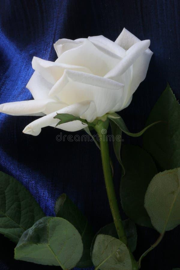 Free White Rose Stock Photos - 1399123