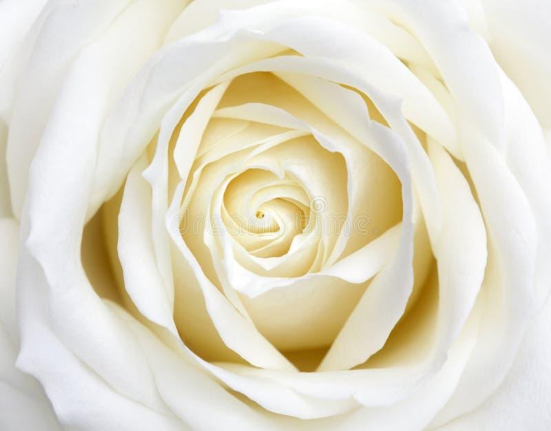 Download White Rose Stock Photos - Image: 19044163