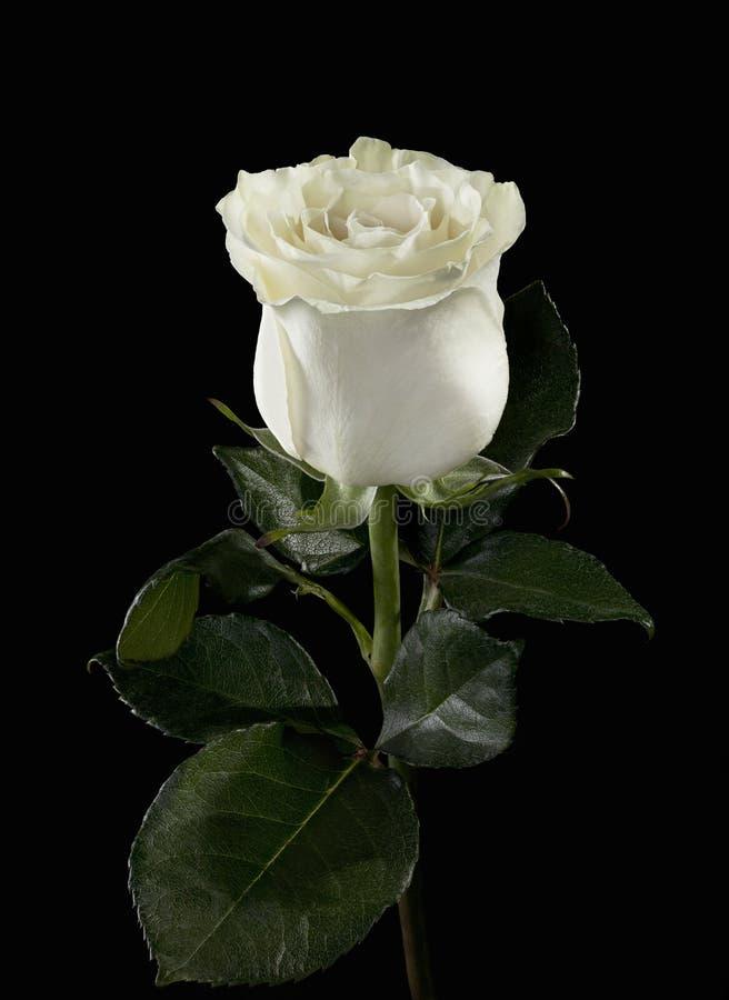 Free White Rose Stock Photography - 22173722