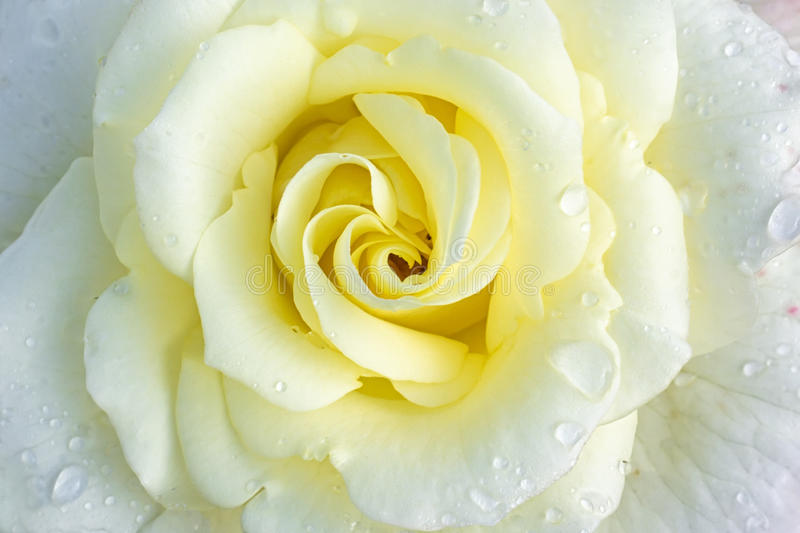 Download White Rose Stock Photo - Image: 25986500