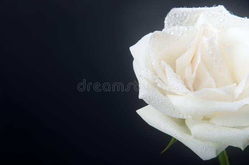 Download White rose stock image. Image of nature, seasonal, passion - 26424591