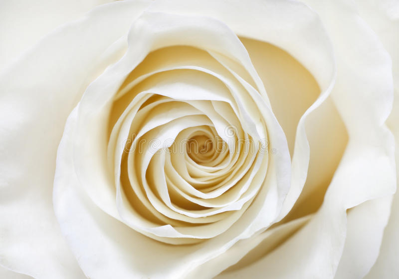 Download White rose stock photo. Image of water, white, ruffles - 28850066