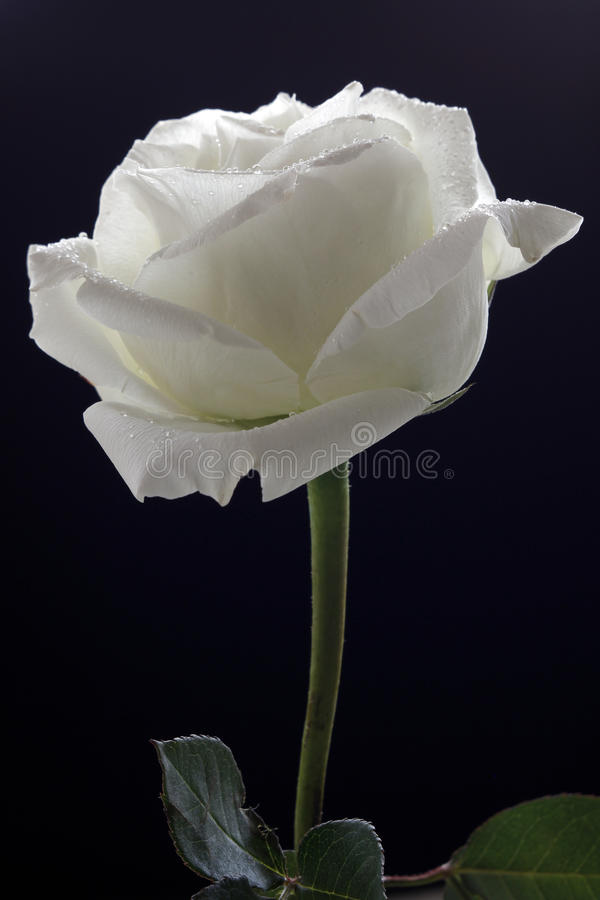 White Rose. Elegant white rose petals, bending, faint white slightly yellow stock photo