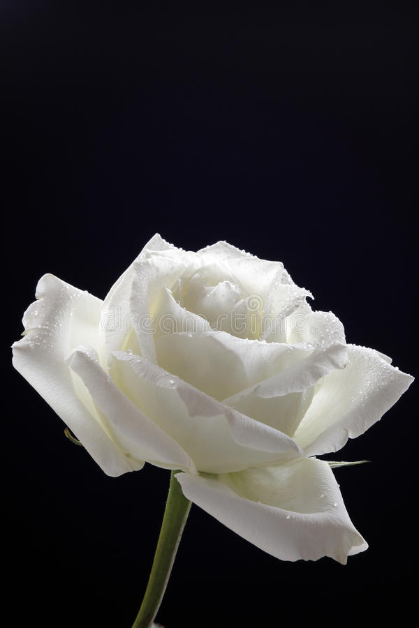 White Rose. Elegant white rose petals, bending, faint white slightly yellow royalty free stock images