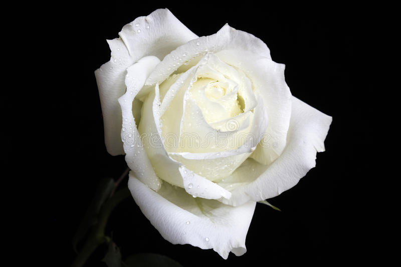 White Rose. Elegant white rose, petals curled, faint white slightly yellow stock photo