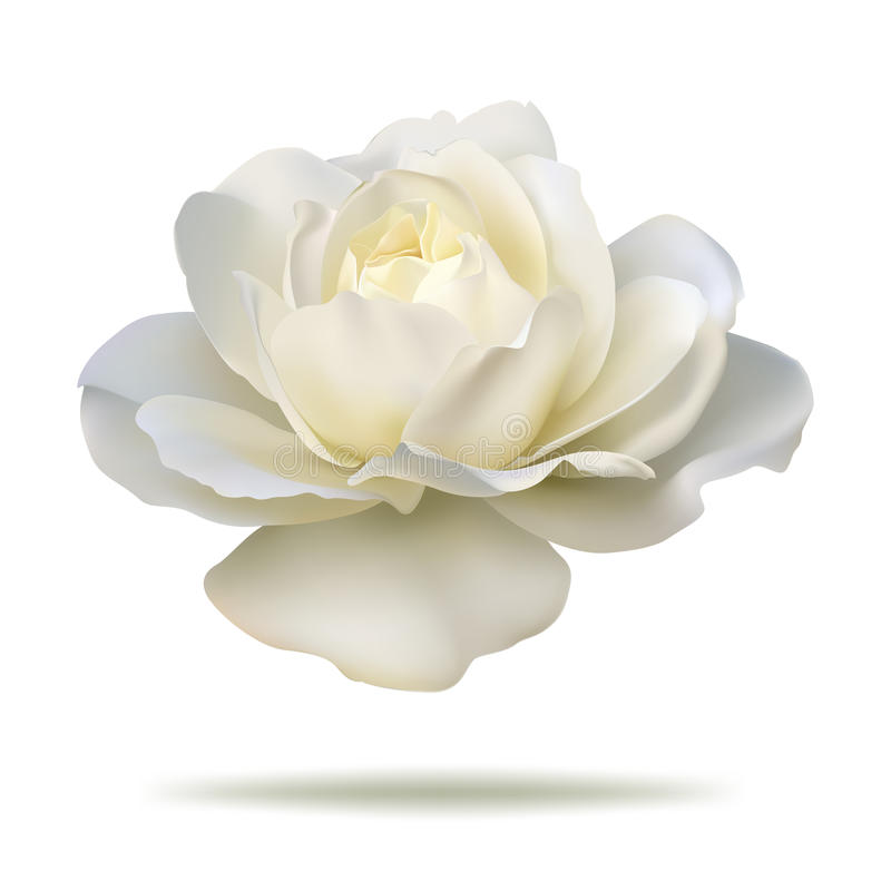 Free White Rose Stock Photography - 59677242