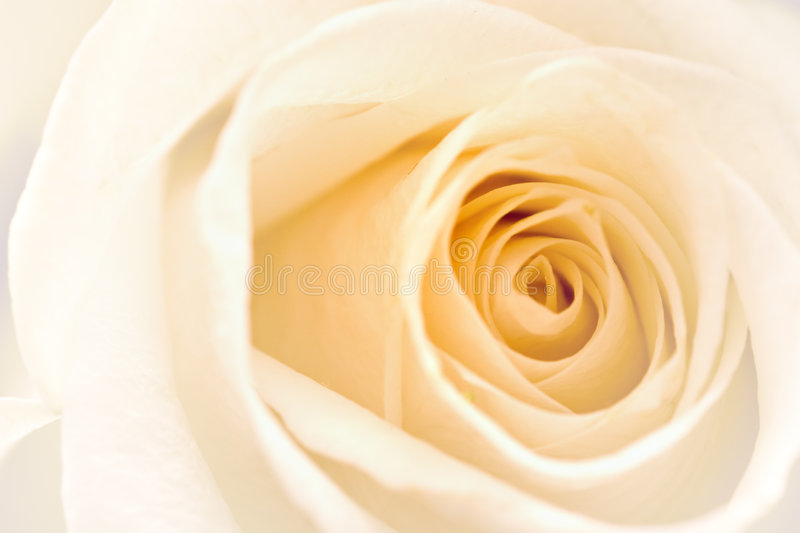 Download White Rose stock image. Image of rose, tenderness, garden - 691811