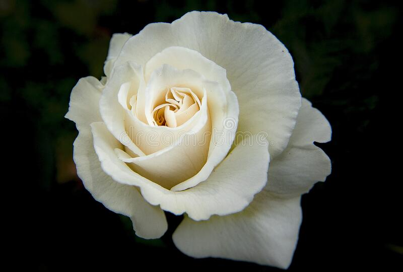 White Rose Free Public Domain Cc0 Image