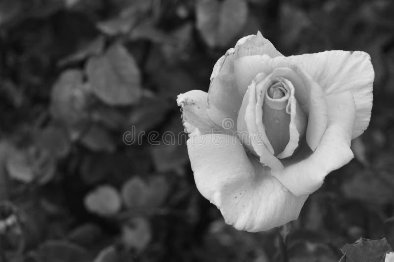 White Rose Free Public Domain Cc0 Image