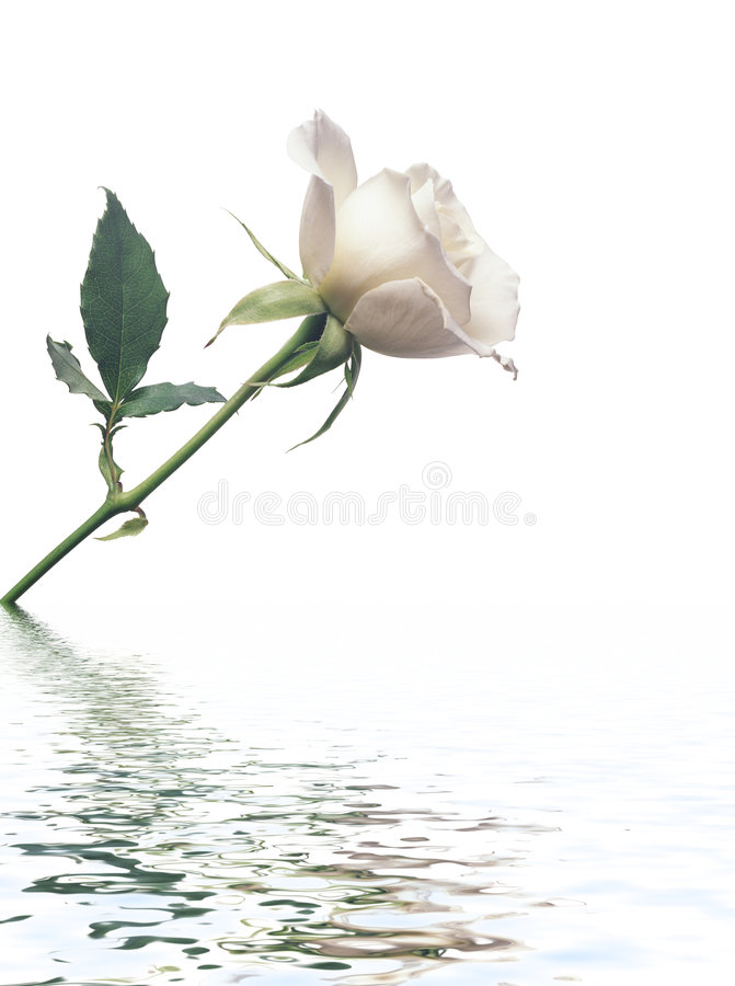 White Rose against white background with reflectio royalty free stock photo