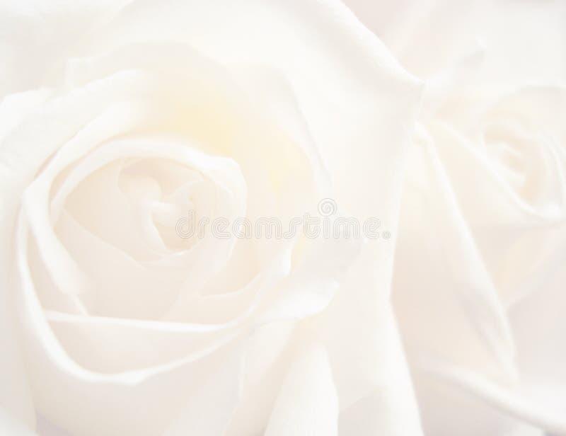 White rose background stock photo