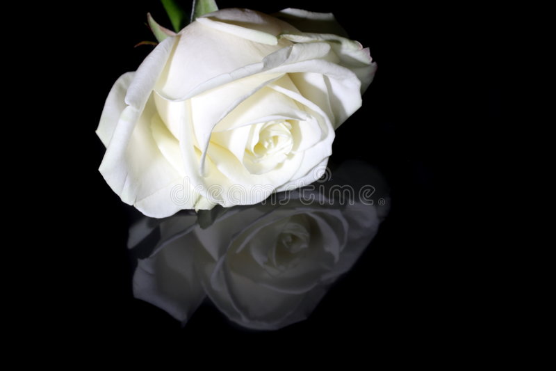 Download White rose on black stock photo. Image of reflection, petals - 8152760