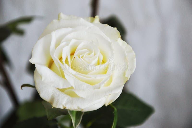 White rose on black background stock image