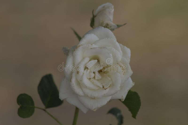 White rose on a black background stock photos