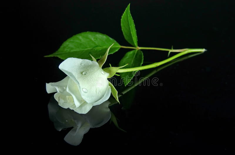 White rose. On a black mirroring background. Photo taken on: June 15. 2015 royalty free stock image