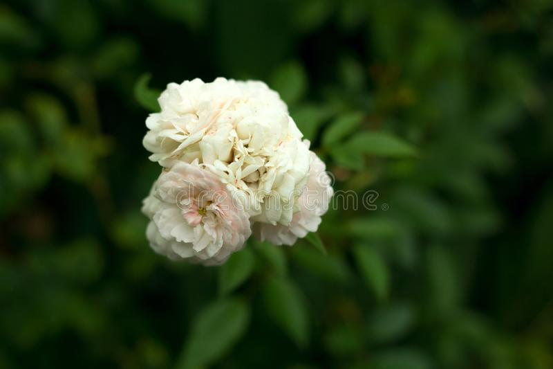White rose blooming in a garden royalty free stock photography