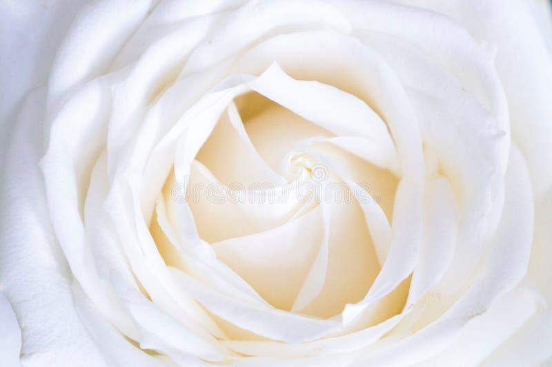 White rose bud stock photo