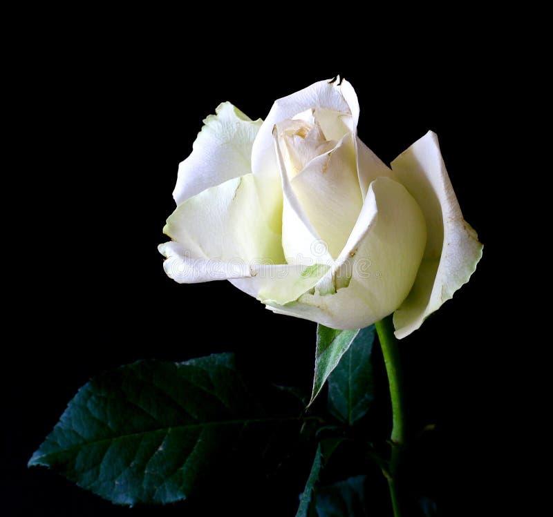White rose bud stock photos