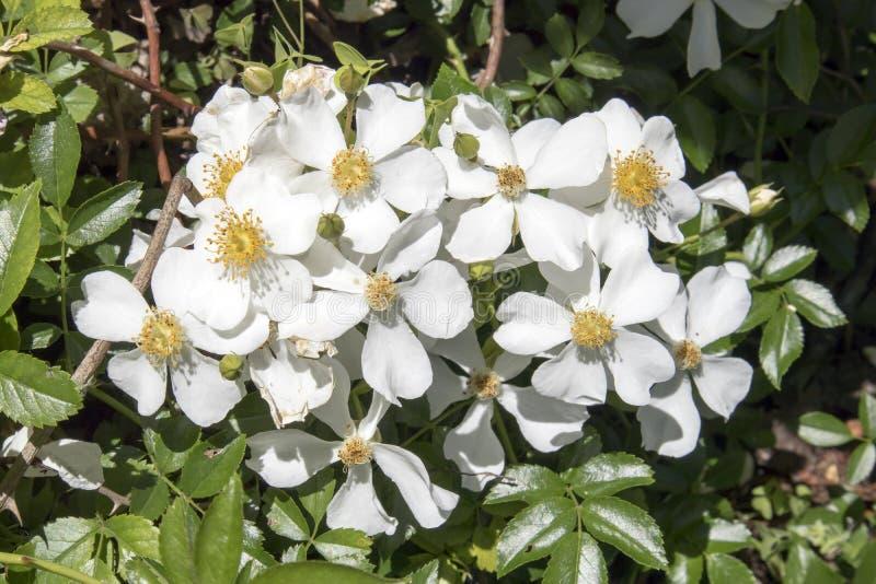 The white rose bush in the rose garden in the botanical garden. Rosa white decumba stock photos