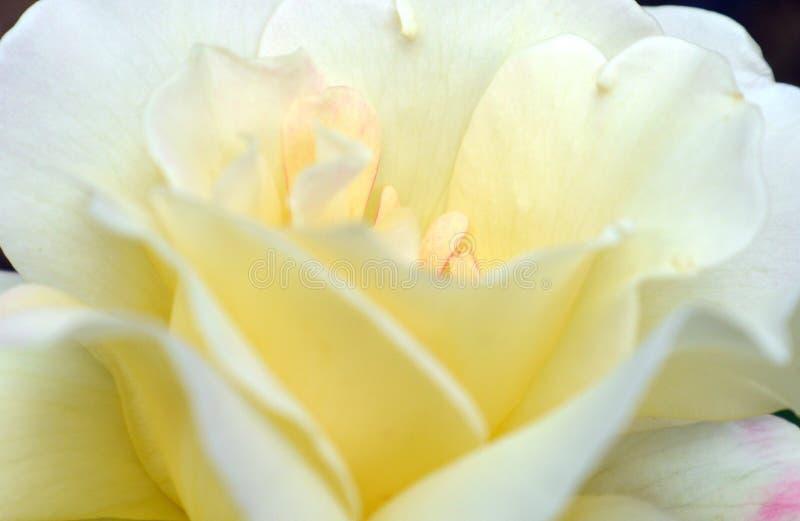 White rose royalty free stock image