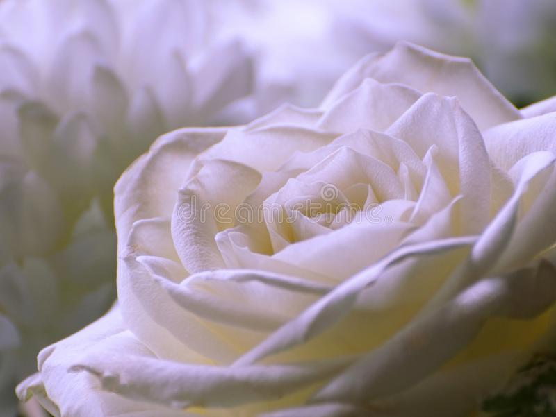 White Rose Close Up Photograph. A close up photo of a white rose in a bouquet of white flowers royalty free stock photo