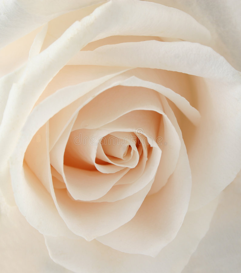 White rose closeup royalty free stock photo