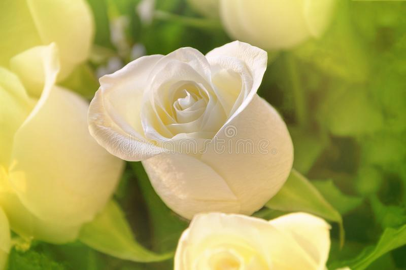 White rose closeup on floral background. Beautiful flower over leaves. royalty free stock image