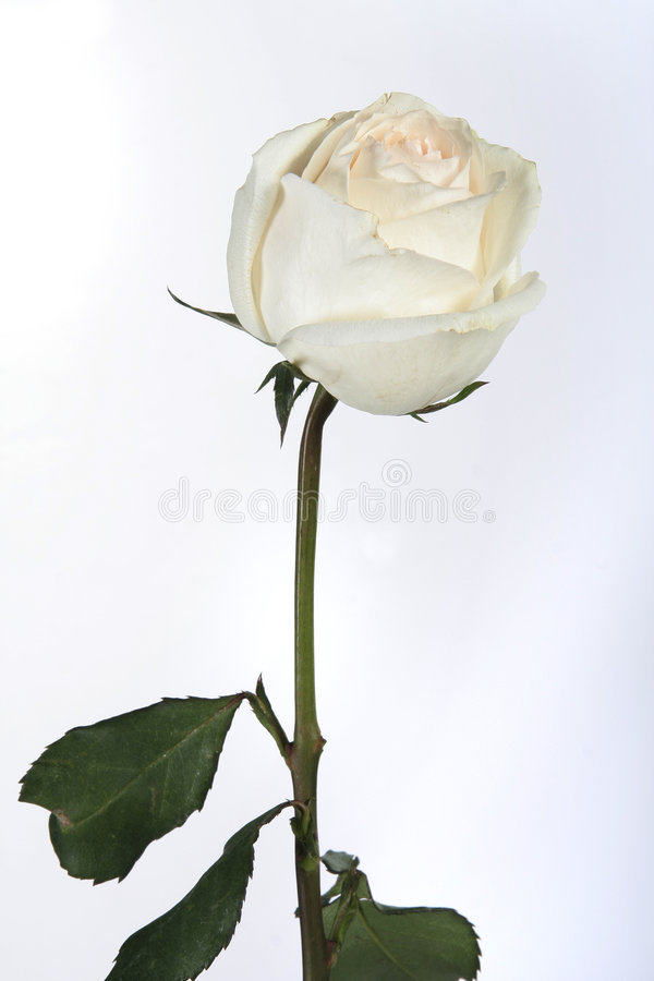 White rose on in drops of a ra royalty free stock image