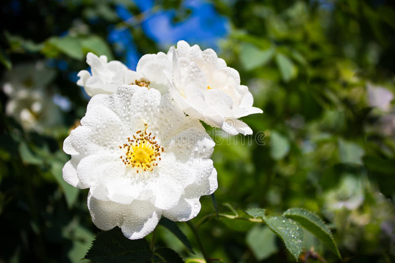White rose. With drops sunshine royalty free stock photos