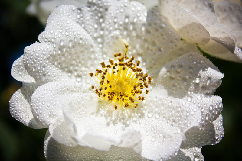 White rose. With drops sunshine stock photos