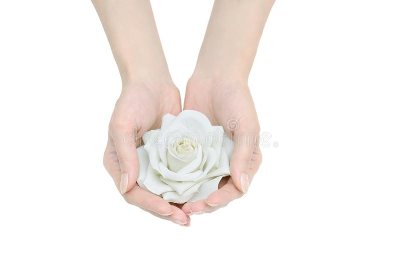 White rose in female hands. royalty free stock images