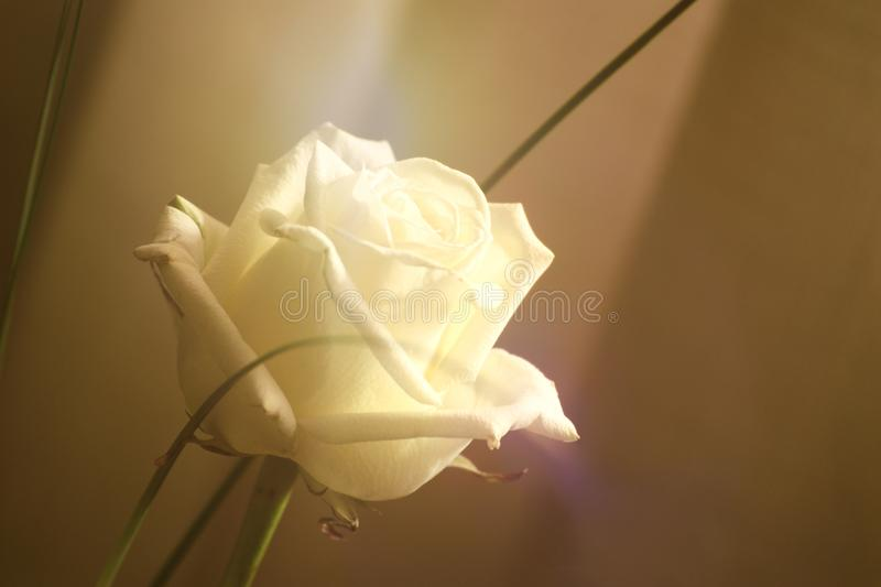 White rose flower against a white background. Sepia toned image and empty copy space royalty free stock photography