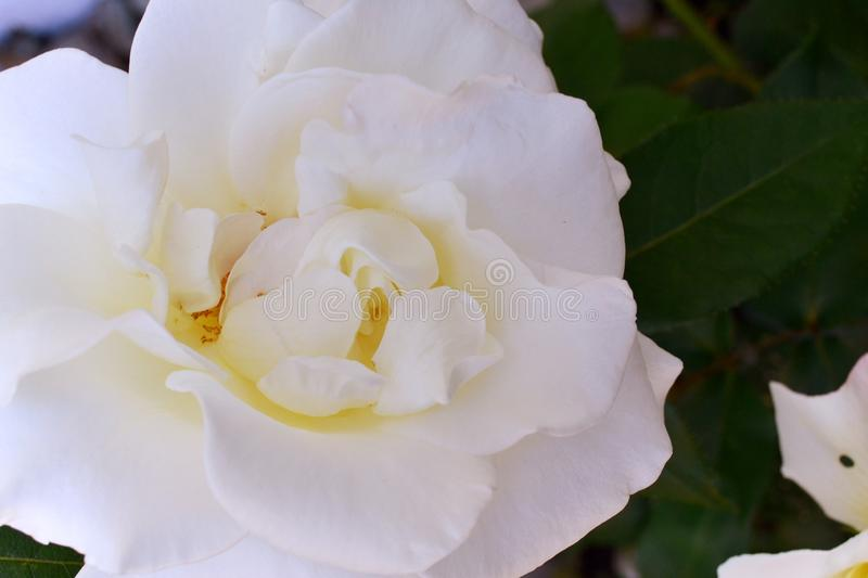 White Rose Flower Close-Up Shot. Taken in Victoria, BC Canada royalty free stock image