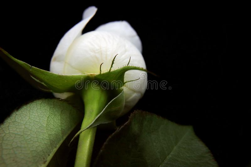 White rose flower lies on black background for design royalty free stock images