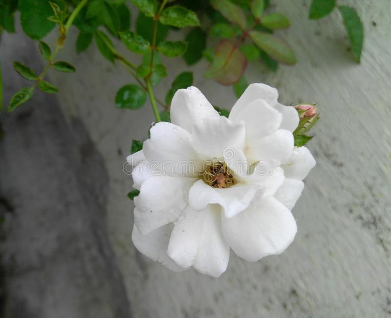 White rose flower in plant grown in the garden. Wallpaper, photography, closeup, horticulture, botany, botanical, flora, foliage, green, leaves, plantation royalty free stock photography