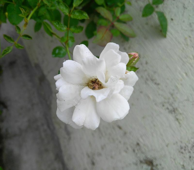 White rose flower in plant grown in the garden. Wallpaper, photography, closeup, horticulture, botany, botanical, flora, foliage, green, leaves, plantation stock photos
