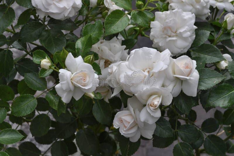 White rose flower stock image. Image of bush, greenery - 103072821