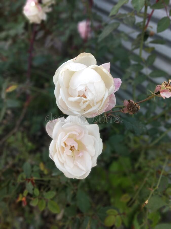 White Rose Flowers royalty free stock photography