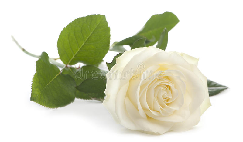 Download White Rose In Front Of White Background Stock Photo - Image: 20253244