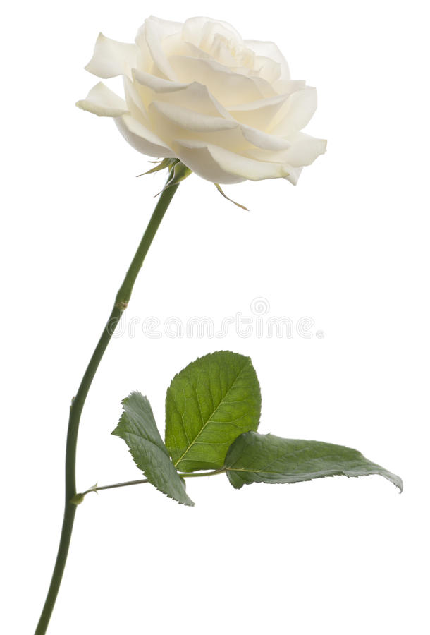 Download White Rose In Front Of White Background Stock Image - Image: 20253247