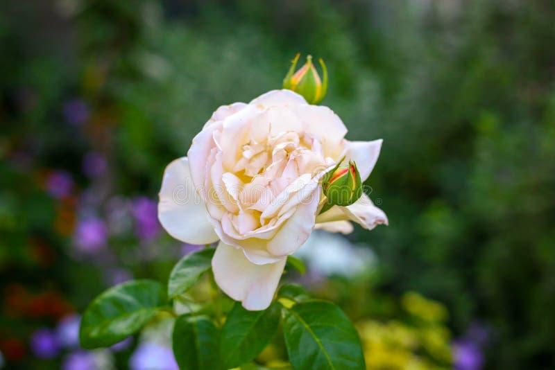 White rose in garden. Macro. Beautiful summer flower. Beautiful bouquet stock photo
