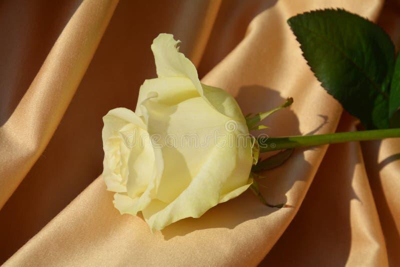White rose on golden background stock images