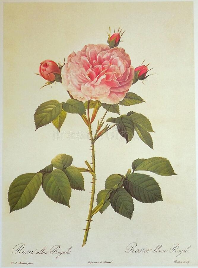 Free White Rose Great Maiden`s Blush Rosa Alba Regalis Rosier Blanc Royal Illustration Roses Prints Flower Floral Sketch Nature Royalty Free Stock Image - 194540436