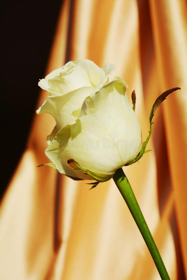 white rose and green leaves, on golden background, close up stock photography