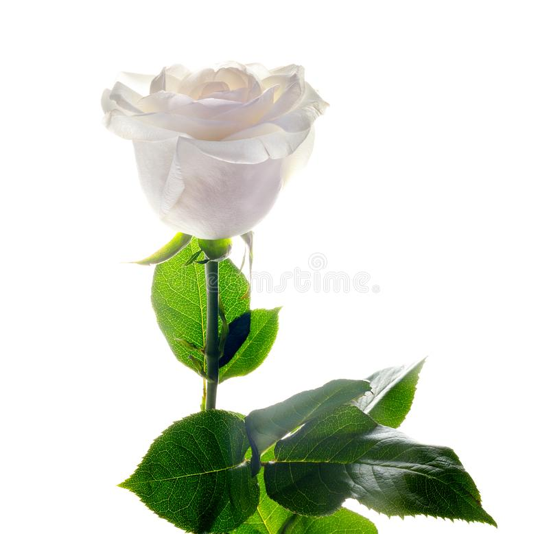 White rose with green leaves for holiday gift on white background stock photo