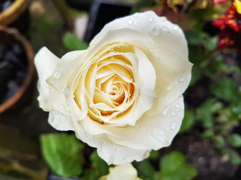 White Rose - Hybrid Tea Rose - Climbing Iceberg royalty free stock photo