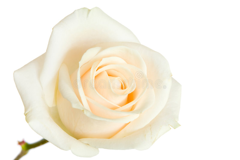 White rose isolated royalty free stock photos
