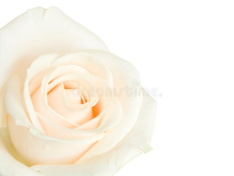 Download White Rose Isolated Stock Photography - Image: 4168002