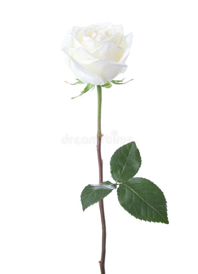 White rose isolated on white background.  royalty free stock photos