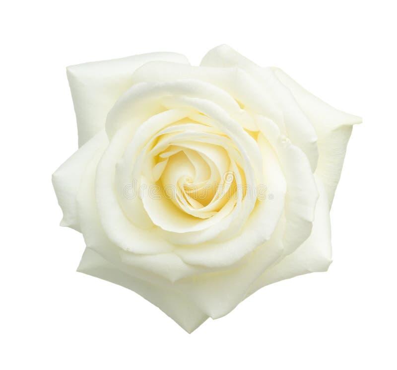 White rose isolated on white. royalty free stock photo